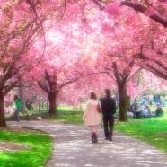 Hanami o la contemplación de la flor del cerezo en Japón