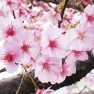 Floración de los cerezos y cruzamiento de dedos