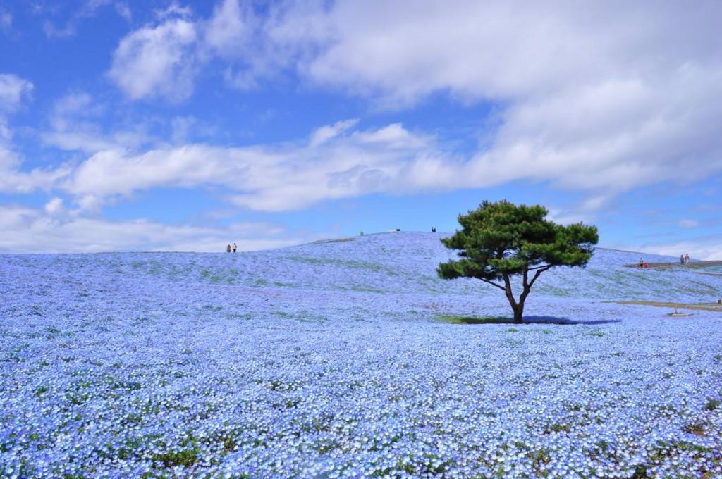 Manto de flores azules en el Parque Costero de Hitachi