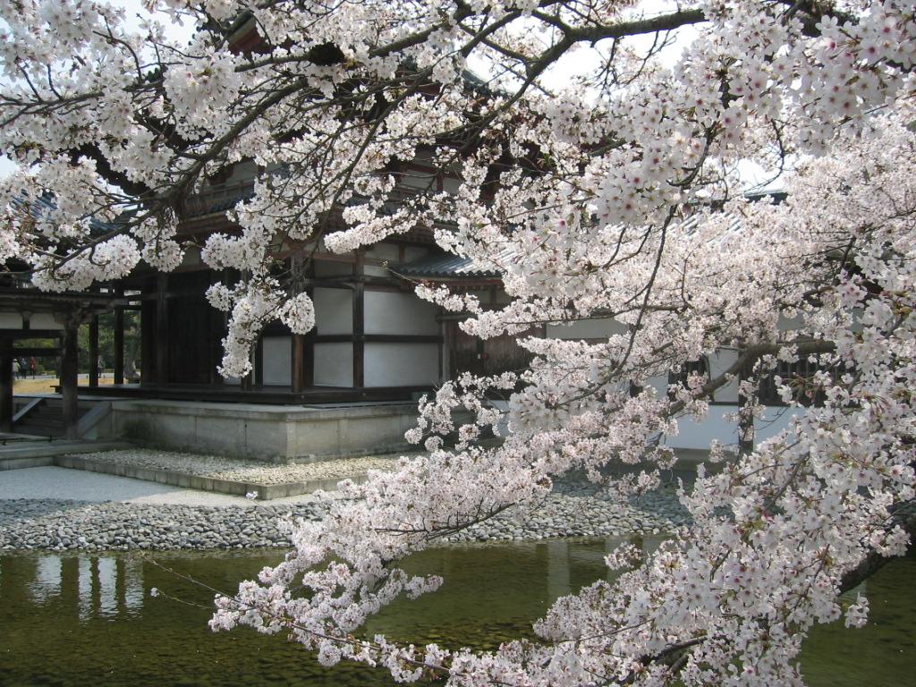 Imagen de la floración en Hanami